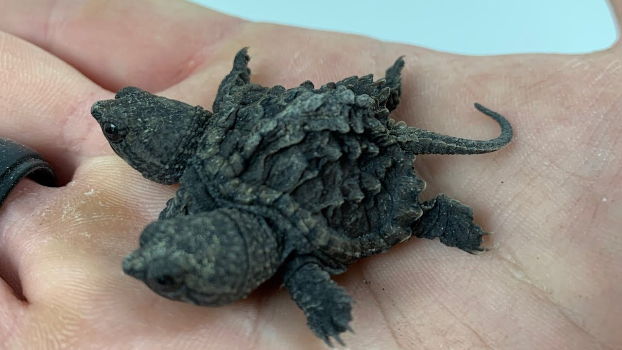 Freaky Two Headed Snapping Turtle Video