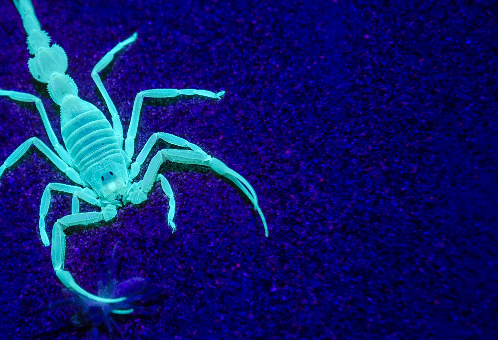 Scorpions Glow Beautifully Under UV Light